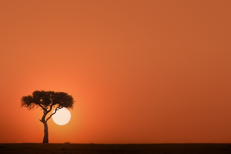 east africa: African acacia tree at sunset