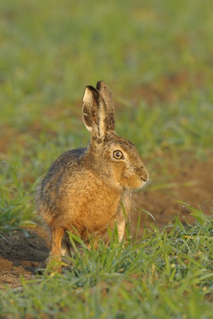 Brown hare sitting in field photo