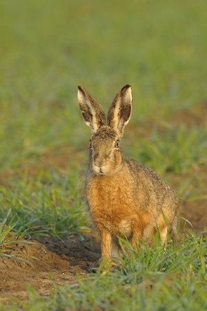 Brown hare sitting in field Stock Photo - 12785632