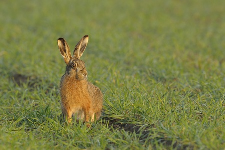 Sitting brown hare in the field photo