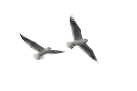 sea bird: Motion blurred of flying seagulls isolated on white