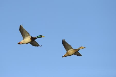 mallard duck: Two mallard ducks in flight against blue sky