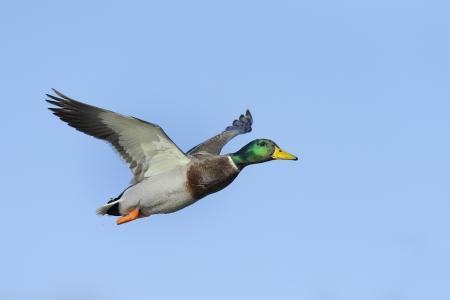 Colorful male mallard duck in flight against blue sky Standard-Bild