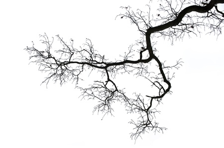 dry tree: branches isolated on white background