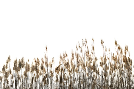 reeds: Reed against white background