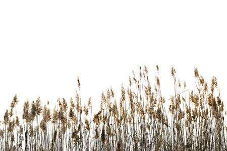 canne: Reed contro sfondo bianco