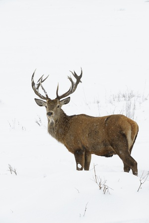 Red deer  Cervus elaphus  in winter snow  photo