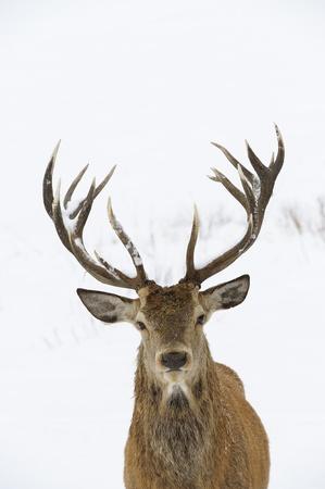 Red Deer Cervus elaphus en chef de neige en hiver et le portrait de bois