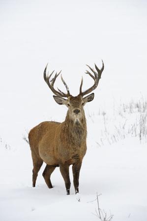 venado: Red Deer Cervus elaphus en invierno la nieve