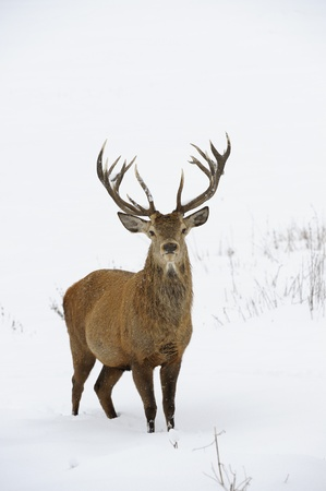 elaphus: Red deer  Cervus elaphus  in winter snow