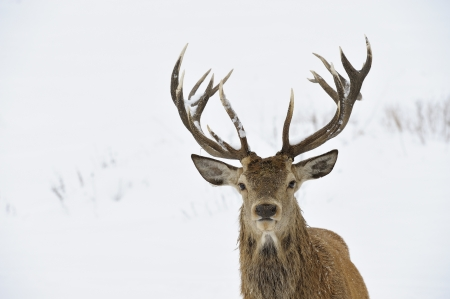 ciervo: Red Deer Cervus elaphus en Jefe nieve del invierno y el retrato cornamenta
