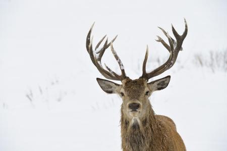 huge antlers: Red deer  Cervus elaphus  in winter snow  Head and antler portrait  Stock Photo