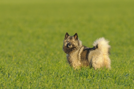 half breed: Chow Crossbreed standing in a meadow Stock Photo