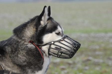 Portrait d'un husky sibérien porter une muselière