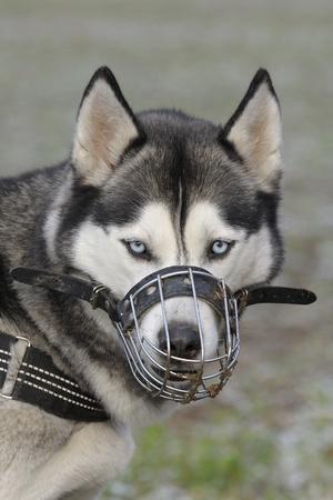 Portrait of a Siberian husky wearing a muzzle Stock Photo - 17119815