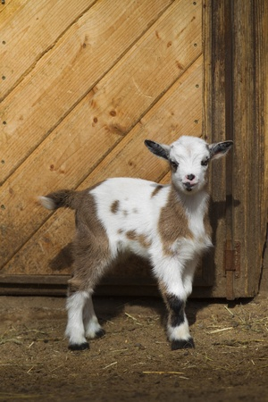 Baby goat standing in front of a barn photo