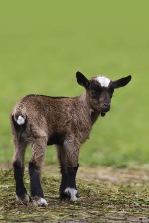 Brown baby goat looking at camera