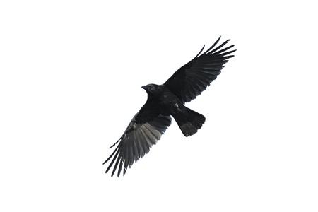 corvo imperiale: Sagoma di un corvo Carrian isolato contro bianco Archivio Fotografico