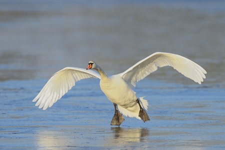 mute swan: Mute Swan comes in for a landing on water