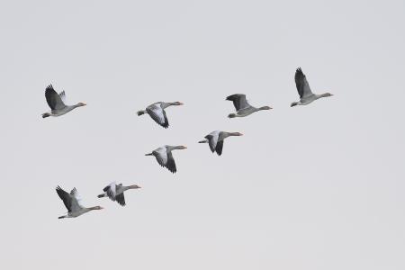 거위: 기러기 기러기, ANSER의 ANSER의 무리 형성에 비행 스톡 사진