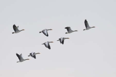 migrating animal: Flock of greylag geese, Anser anser, flying in formation Stock Photo
