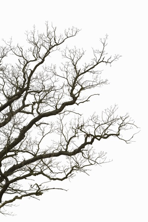 bare trees: Natural color silhouette of a leafless tree against an overcast sky  Stock Photo