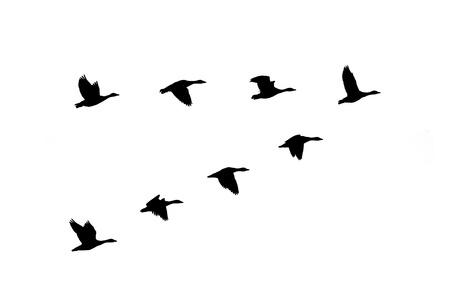 migrations: Silhouette of greylag geese  Anser anser  flying in formation  Stock Photo