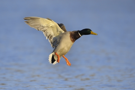 Colorful mallard duck comes in for a landing