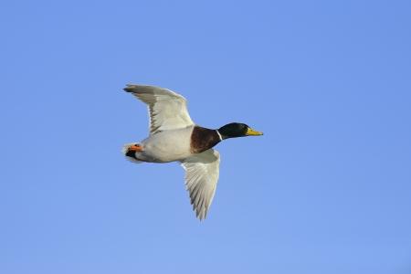 mallard: Colorido pato ánade real volando contra el cielo azul