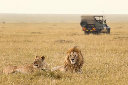 케냐의 아프리카 사자 부부와 사파리 지프 스톡 콘텐츠