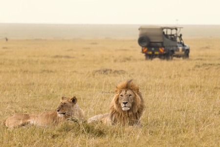 African lion couple and safari jeep in Kenya Stock Photo
