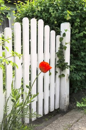 White garden gate and red poppy photo