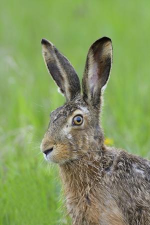 갈색 토끼, 토끼 자리의 europaeus, 독일, 유럽.