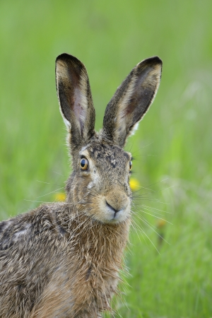 european rabbit: Brown liebre, Lepus europaeus, Alemania, Europa.