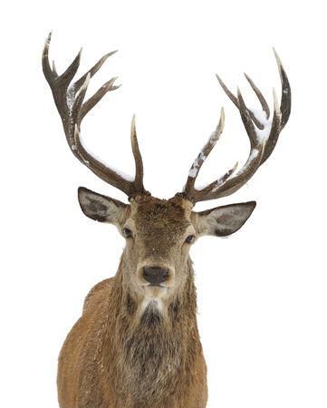 Rotwild Porträt isoliert auf weiß Standard-Bild - 24065004