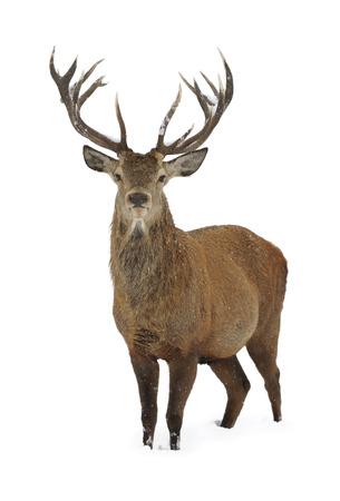 red deer: Red deer in winter snow isolated