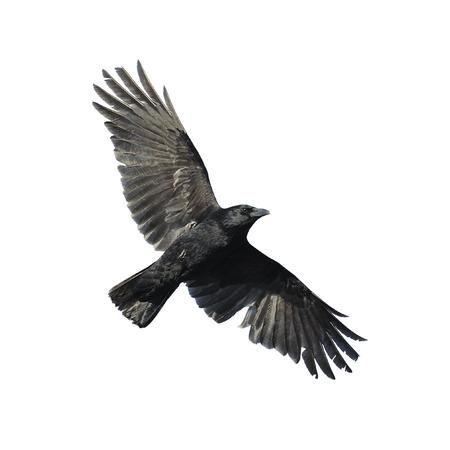 cuervo: Corneja negra con las alas extendidas aislados Foto de archivo