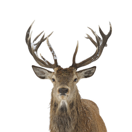 Red deer head and antler portrait isolated