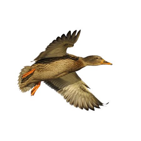 Female mallard duck in flight isolated on white photo