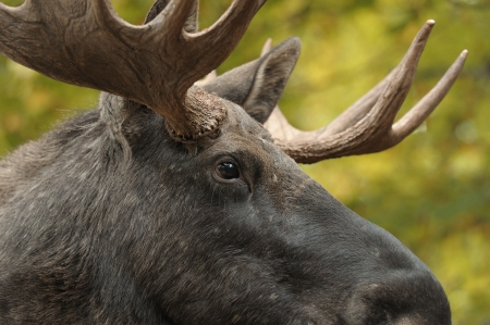 moose antlers: Close up of a moose head