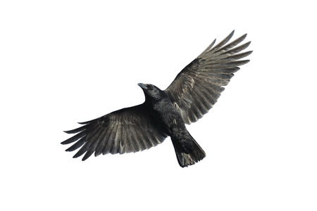 Corneja negra con las alas extendidas aislados sobre fondo blanco. Foto de archivo
