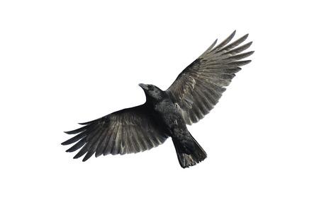 cuervo: Corneja negra con las alas extendidas aislados sobre fondo blanco.