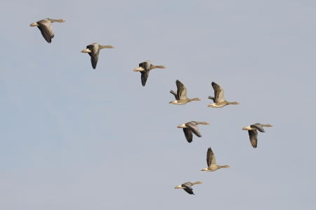 Flock of migrating greylag geese photo