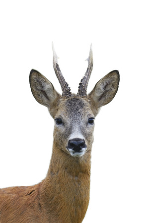 Roe deer buck portrait isolated on white