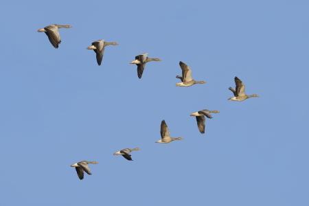 ocas: Bandada de gansos que emigran ganso silvestre volando en V-formación.