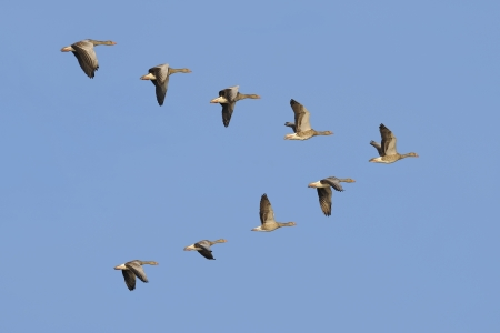 flying geese: Flock of migrating greylag geese flying in V-formation.