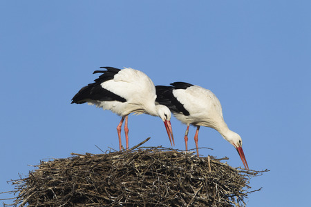 White stork pair building their nest, Germany. photo