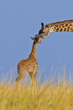 Giraffe mother with its baby, Kenya  photo