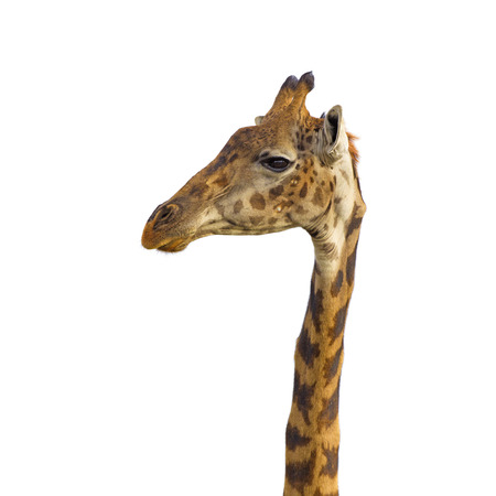 Isolated giraffe head on white background photo