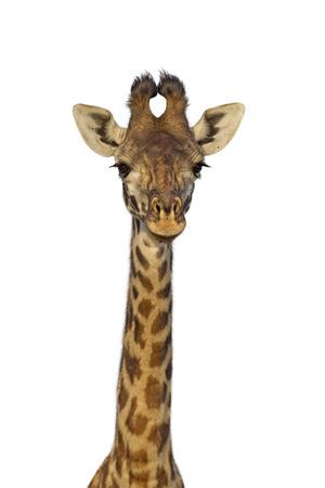 giraffa camelopardalis: Masai giraffe isolated on white background Stock Photo